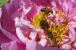 Three bees in a pink flower.